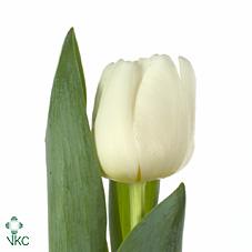 Tulp en white