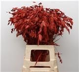 Chasmanthium paint red