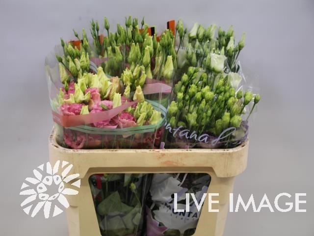 Lisianthus du mix in bucket