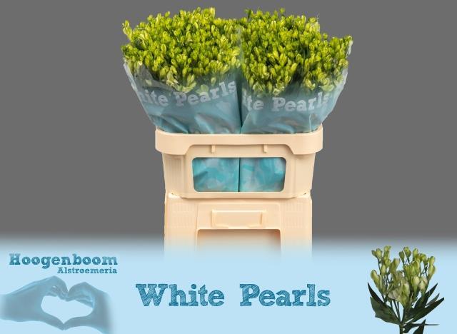 Alstroemeria fl white pearls