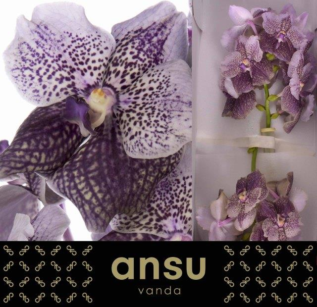 Vanda divana antique mauve plum